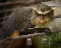 Horned Monkey by Joseph G Holland