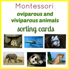 Montessori Oviparous and Viviparous Animals Sorting Cardscontain: 16 cards with photos of animals sorted on Oviparous and Viviparous  2 cards with definitionPrint printable twice and use ope copy as a control card!I also invite you to check out ANIMALS EDUCATIONAL MATERIAL MONTESSORI 3-PART NOMENCLATURE CARDSANIMALS OF THE CONTINENTS PRINTABLE BINGO GAME MONTESSORI INSPIREDHow to get TPT credit to use on future purchases: Please go to your My Purchases page (you may need to login).