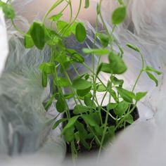 Odlingsråd för luktärter - Luktärtsfröer och KRAV-odlade plantor
