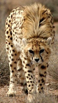 Young Cheetah Walking Cautiously; Looks as Though This Youngster is Getting Some Wind.