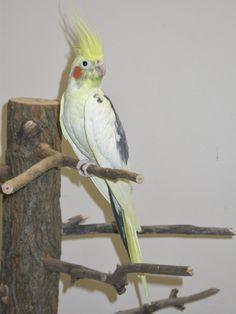 Cockatiel - Pied Cockatiel, Budgies, Parrots, Bird Feathers, Pet Birds, Club, Pets, Animals, Parakeets