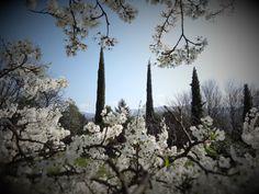 Il neige des flocons de pétales de prunelles sur le ciel bleu du printemps / plum flower petals falling as snow flakes from spring blue sky