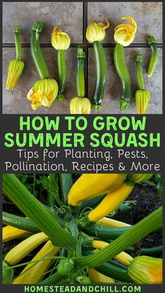 Squash are prolific and easy crops to grow in your summer garden once you know how to care for them. Learn how to grow zucchini and other summer squash from seed to table - with tips on planting popular varieties pest and disease control recipes and more! Growing Squash, Growing Zucchini, Zucchini Plants, Growing Veggies, Planting Vegetables, How To Grow Squash, How To Grow Zucchini, Shade Garden, Garden Plants