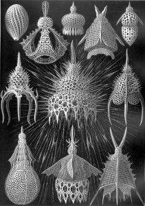 Ernst Haeckel Illustration
