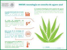 El Instituto Nacional de Investigaciones Forestales Agrícolas y Pecuarias (INIFAP) generó tecnología sobre la nutrición de la planta de agave azul y el manejo de fertilizantes mediante un sistema de riego por goteo (fertigación) que permite aumentar los rendimientos y cosechar desde los cuatro años y cinco meses, en lugar de los siete años que toma normalmente. SAGARPA SAGARPAMX