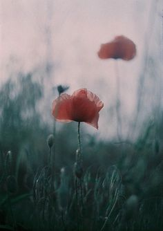 #flowers #poppies