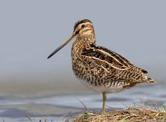 Common Snipe image by Sindri1994 Sabine Wildlife Refuge, LA.....my cousins and sister took me 'snipe hunting' with a paper bag ....  :)