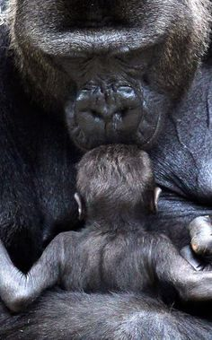 Mother Chimpanzee giving kisses how sweet :))