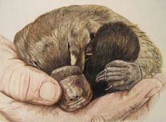 34 Best Platypuses images | Platypus, Duck billed platypus ...
