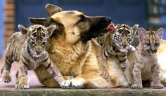 This is why I want a German Shep. Brave enough and loyal enough to nurture tigers.