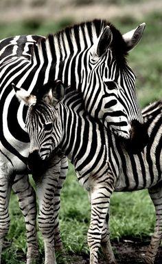 "thelordismylightandmysalvation: "" Mom and Baby Zebra """