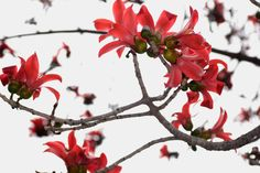 ID'd: Bombax ceiba | Silk-cotton or Kapok tree. | Por: Van in LA | Flickr - Photo Sharing!