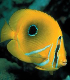 """Called """"butterfly"""" for their small size, bright colors, and darting movements, these fish are thin-bodied with a round shape. Coral Bleaching, Fish Breeding, Life Under The Sea, Salt Water Fish, Saltwater Tank, Water Animals, Rainbow Fish, Marine Fish, Animal Facts"""