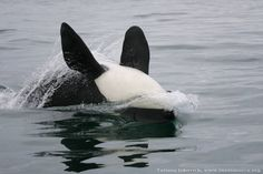 Orca - Photo by Tatiana Ivkovich www.russianorca.org