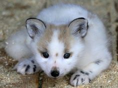 A two-month-old snow fox cub lies inside a cage at the Royev Ruchey zoo on the surburbs of Russia's Siberian city of Krasnoyarsk (REUTERS/Ilya Naymushin)