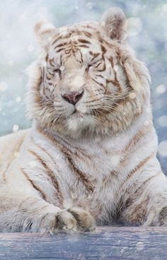 White Tiger in snow