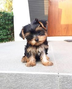 Teacup Yorkie For Sale, Cute Teacup Puppies, Yorkie Puppy For Sale, Super Cute Puppies, Cute Baby Dogs, Cute Little Puppies, Yorkie Dogs, Cute Dogs And Puppies, Cute Baby Animals