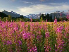 Fireweed, Brotherhood Park, Mendenhall Peaks, Juneau, Alaska