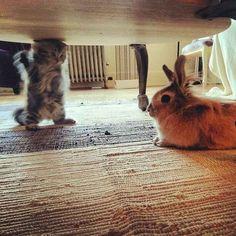 Un chaton qui montre son point de vue de façon théâtrale à un lapin désintéressé.