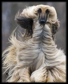 Funny Afghan Hound Pictures