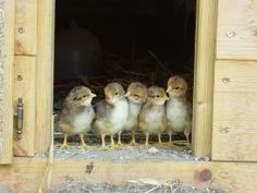 Baby Chicks Before Their First Outing. Aren't They Cute? Want some great tips on raising chickens in your back yard then click this photo and check it out now.