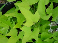 Sweet potato plants grow so easily and I want the vibrant color for our front flower bed.