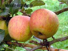 Holsteiner Zitronenapfel Eutrin 1918 guter Tafelapfel, saftig, goße gelbe Frucht, Verwendung: als Tafelapfel, mittelstarker Wuchs