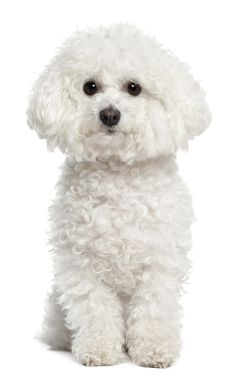 Bichon, I love the different haircuts too!