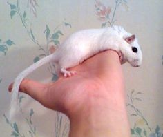 Gerbils are very territorial! If a new gerbil is just placed suddenly into another gerbils cage, there is risk of serious fighting,...