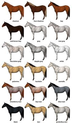 How to Draw Horses: Step-by-Step with Monika ZagrobelnaYou can find Horse breeds and more on our website.How to Draw Horses: Step-by-Step with Monika Zagrobelna Cute Horses, Beautiful Horses, Work Horses, All The Pretty Horses, Horse Color Chart, Horse Coat Colors, Horse Markings, Horse Anatomy, Foot Anatomy