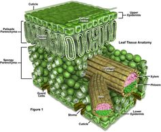 Leaves are the primary photosynthetic organs of plants, serving as key sites where energy from light is converted into chemical energy. Study Biology, Biology Lessons, Science Biology, Life Science, Science And Nature, Plant Cell Structure, Leaf Structure, Plant Tissue, Teaching Biology