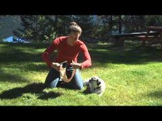 The Ultimate Dog Belly Band Test  #dogbellyband #dogdiaper #washablewonders #pug #dogwrap
