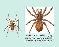 How to Identify a Hobo Spider: 5 Steps - wikiHow