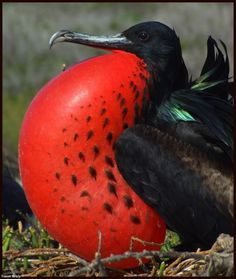 Galapagos Frigatebird?  In a recent paper, it was found that the Long-term isolation of the highly mobile Magnificent Frigatebird on the Galapagos Islands has led to genetically different race than that of the Pacific and Caribbean populations.  kiwifoto.com