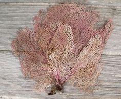 Atlantic Sea Fan Coral (10 in) - nautical decor, seashells background ($14.00) - Svpply