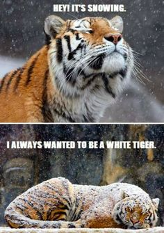 Funny animal picture of snow tiger.