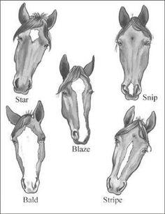 Resultado de imagem para Horse anatomy