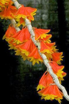 Dendrobium Chrysopterum, orange flowers