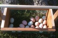 8 Things You Need to Know about Raising Chickens (to save money)!