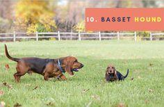Basset hound puppies breeds, Dog Breeds