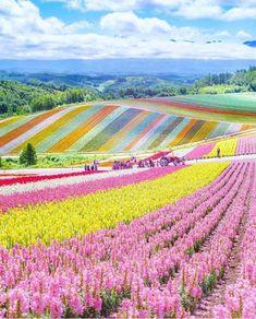 Flower field in Hokkaido – Japan