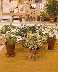 Scented Geranium Uses - Martha Stewart Home & Garden Container Gardening, Gardening Tips, Flower Gardening, Martha Stewart Home, Scented Geranium, Starting A Vegetable Garden, Market Garden, Sweet Violets, Organic Living