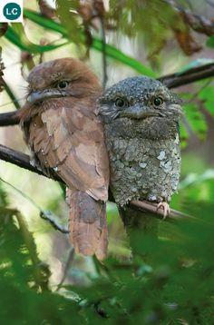 https://www.facebook.com/WonderBirdSpecies/ Sri Lanka frogmouth/Ceylon frogmouth (Batrachostomus moniliger); Sri Lanka and Western Ghats of south India; IUCN Red List of Threatened Species 3.1 : Least Concern (LC)(Loài ít quan tâm) || Cú muỗi mỏ quặp Sri Lanka; Họ Cú muỗi mỏ quặp-Podargidae(Frogmouth); Sri Lanka và vùng Tây Ghats của miền Nam Ấn Độ.