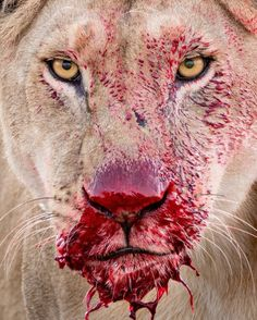 """National Geographic Your Shot on Instagram: """"Photo by Lara Jackson @lara_wildlife / The challenging and defiant look of a lioness defending her kill. In Serengeti National Park when…"""" Zoo Animals, Cute Animals, Nature Animals, Worldwide Photography, Badass Pictures, Female Lion, Serengeti National Park, Lion Pride, Feral Cats"""