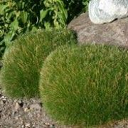 1000 images about festuca grass on pinterest for Low mounding ornamental grasses