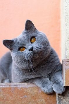 Amazing 5 Cat Breeds With Long Lifespans