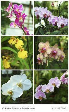 Vermehrung von Orchideen