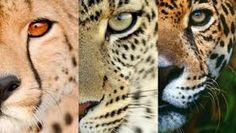 facial differences - jaguar, cheetah, leopard