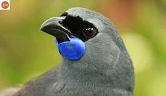 So cute - the grey head, with blue thingy, black beak of New Zealand native bird, the Kokako. Most Beautiful Birds, Pretty Birds, Love Birds, Auckland, Electronic Shop, Kiwiana, Viewing Wildlife, Australian Animals, Bird Drawings