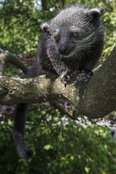 Binturong (Bearcat)